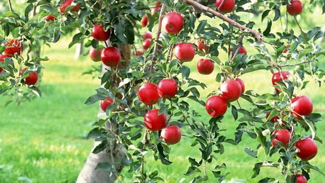 Откупната цена за  килограм јаболка е колку цената за  гума за џвакање