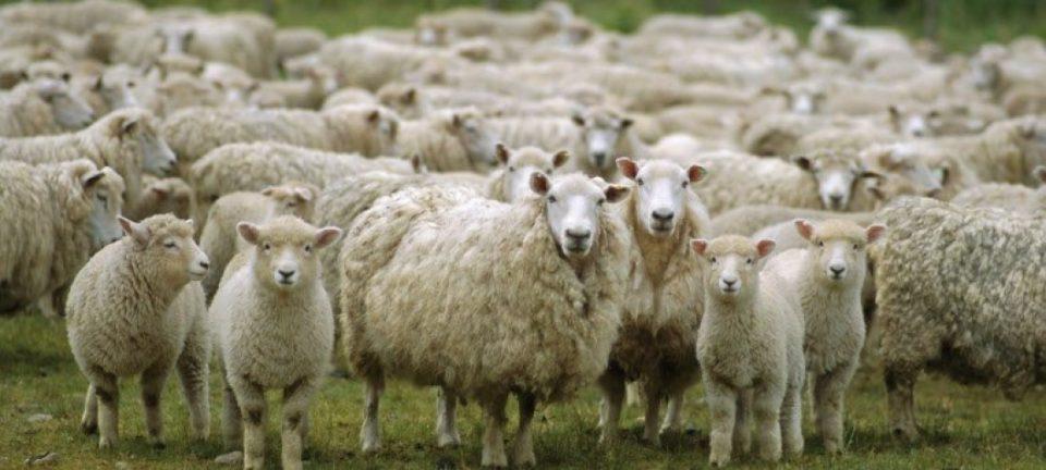 Овчарите не сакаат субвенции, туку соодветна цена за јагнето