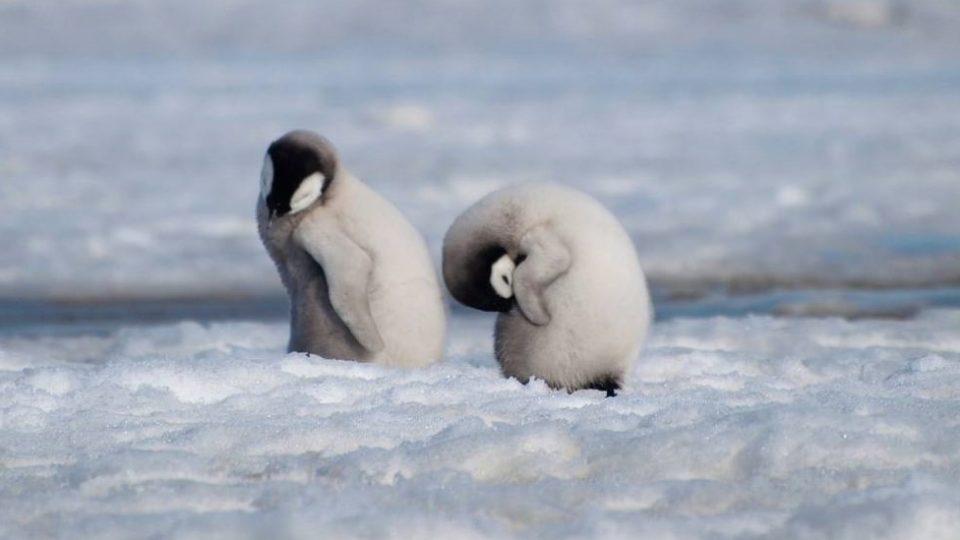 Илјадници бебиња пингвини ичезнале во дел од Антартикот