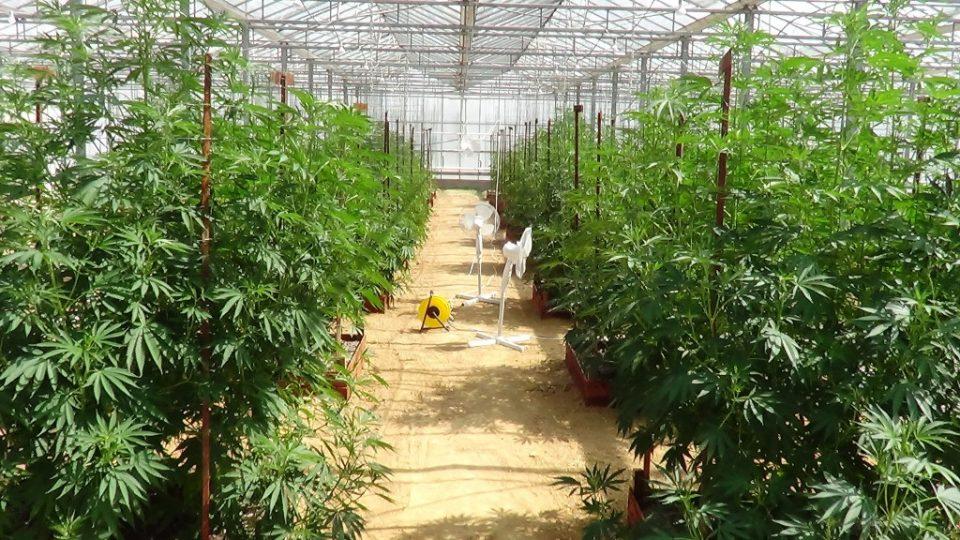 Македонија не е подготвена за легализација на марихуаната
