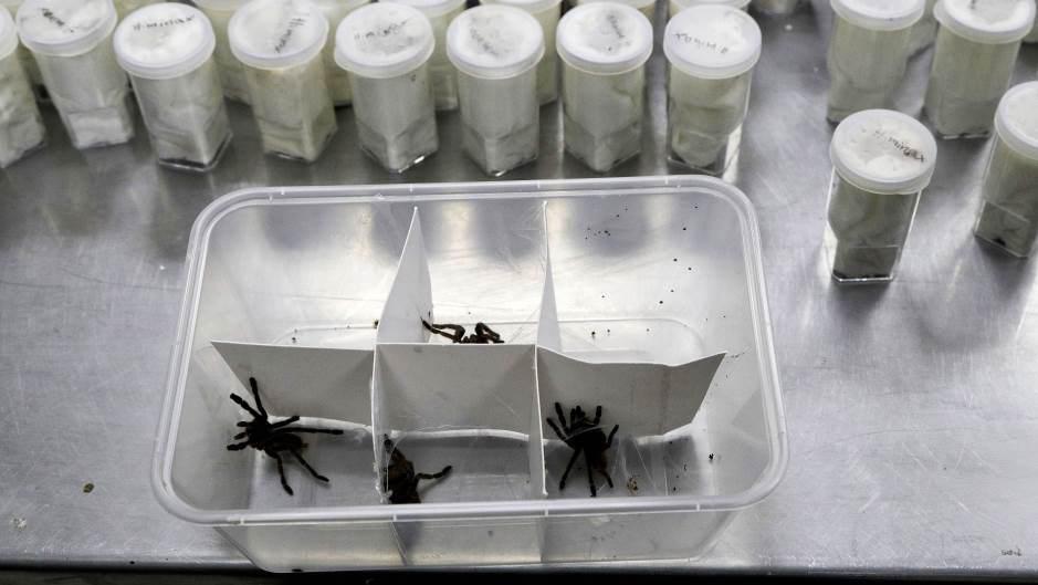 Филипинската царина во поклон пакет од Полска пронашла 757 тарантули (ФОТО)