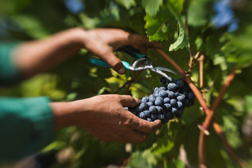 """""""Тиквеш"""" го исплати откупеното грозје од ланската берба"""