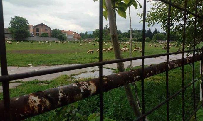 Овци наместо фудбалери на стариот стадион во Тетово