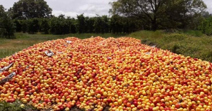 Земјоделците ги  фрлааат јаболките, а МЗШВ вели – нема застој во откупот (ВИДЕО)