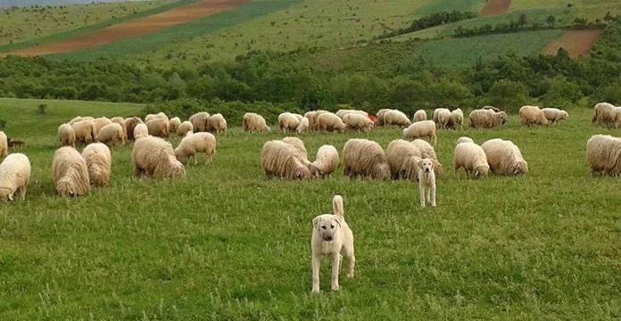 Овчарите не се задоволни и бараат повисоки субвенции