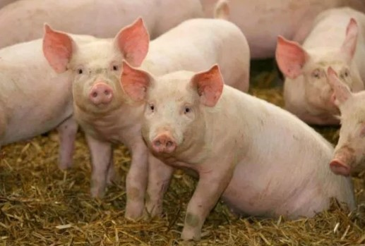 Атанасов: Нема отштета за угинати свињи од нерегистрирани фарми
