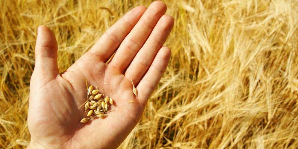Државен инспекторат за земјоделство: Откупната цена на пченицата е од 9 до 10,5 денари