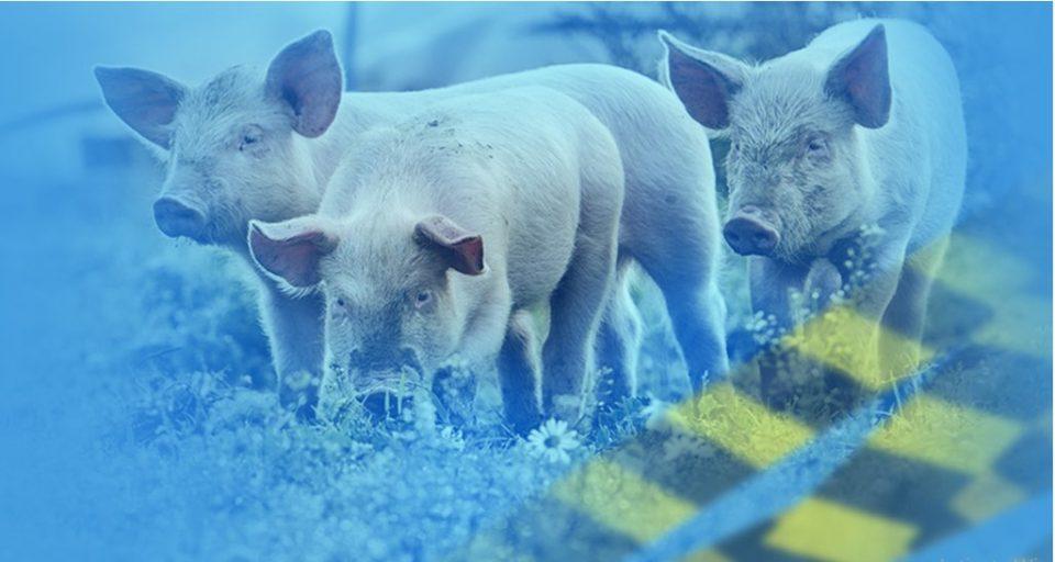 Во Бугарија избила епидемија на африканската свинска чума во уште две фарми