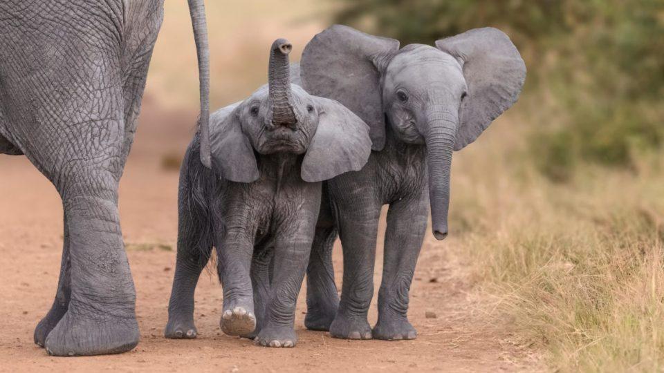 Трговијата со бебиња слонови за зоолошките градини забранета на меѓународно ниво