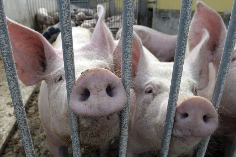 Ќе се стрелаат диви свињи,ќе се уништуваат питомите кои не се под надзор, ќе се вклучи и Армијата
