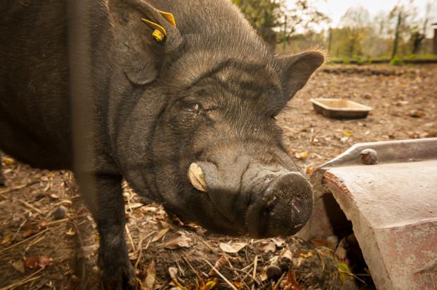 Да се спречи појавата на африканска чума,почна вонредниот отстрел на диви свињи