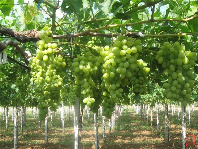 Лозарите бараат повисоки цени за грозјето