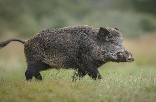 Владата да го спречи најавениот отсрел на диви свињи бараат Здруженија за заштита на животните