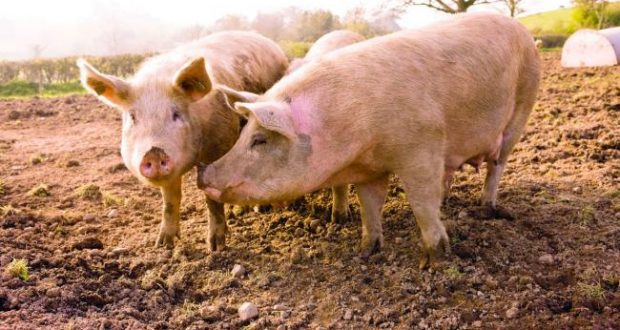 Координативен состанок на ветеринарите за африканска свинска чума