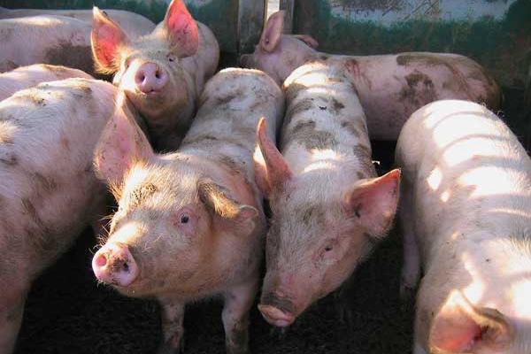 Кланичарите во АХВ ќе ги потпишат договорите за откуп на прасиња од малите домашни фарми