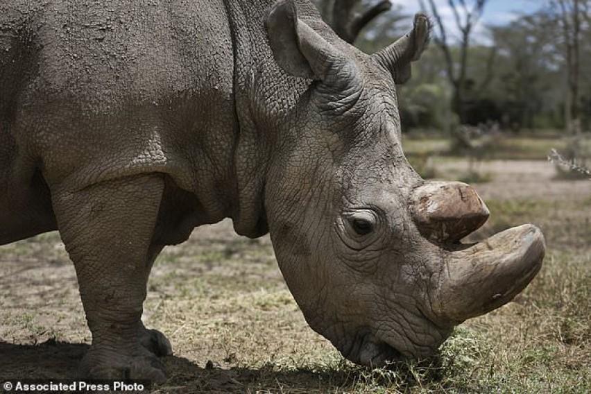 Научници создадоа ембриони од носорог во исчезнување