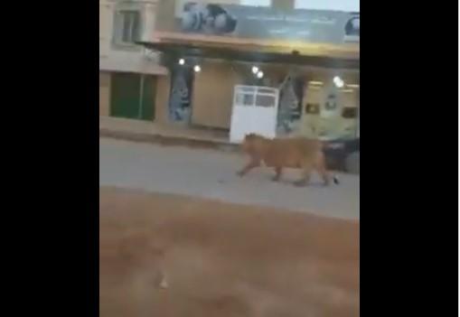 Лав прошета по улиците на Бенгази