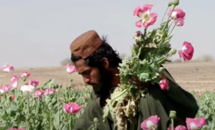 За дрогата се работи: Авганистан лежи на 64.000 хектари површина со опиум, 80 посто од светските залихи